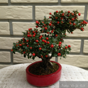 afb cotoneaster